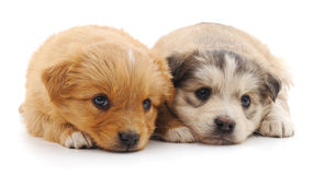 Two puppies. Two puppies on a white background stock photo