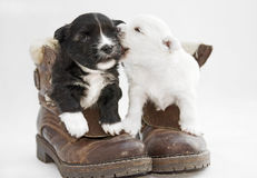 Two puppies white and black in the studio Stock Image