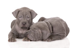 Two puppies on white Stock Photography
