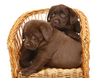 Two puppies in a wicker chair. Two chocolate puppies Labrador a retriever in a wicker chair Stock Photography