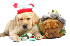 Two puppies in a In winter clothes. Stock Images