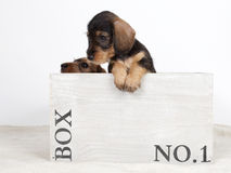 Two puppies in a wooden box Stock Images
