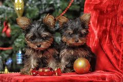 Two puppies York royalty free stock photography