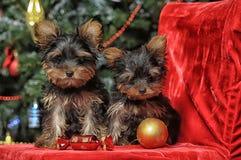 Two puppies York Stock Photos