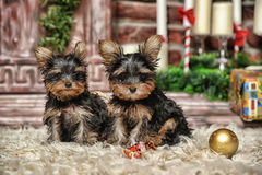 Two puppies York Stock Image