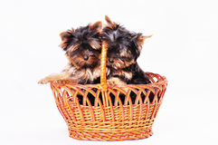 Two puppies Yorkshire are sitting in the basket. Stock Photos
