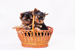 Two puppies Yorkshire are sitting in the basket. Royalty Free Stock Image