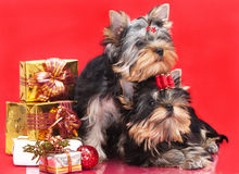 Two puppies Yorkshire terrier Stock Images