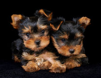 Two puppies of the Yorkshire Terrier on black Stock Image