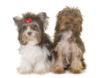 Two puppies yorkshire terrier Royalty Free Stock Images