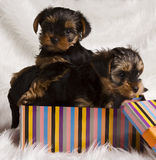 Two puppies Yorkshire terrier in a gift box Stock Image