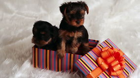 Two puppies Yorkshire terrier in a gift box. In the studio on a white fur stock footage