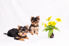 Two puppies Yorkshire terrier Royalty Free Stock Photos