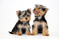 Two puppies Yorkshire terrier Stock Photos
