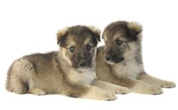 Two puppy Stock Photo