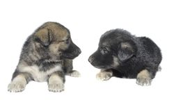 Two puppy Royalty Free Stock Photography