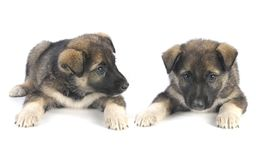 Two puppy Stock Image