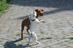 Two puppy. Playing with each other Stock Image