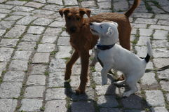 Two puppy. Playing with each other Royalty Free Stock Image