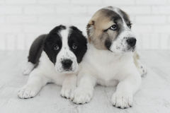 Two  puppy Alabai on a white background in studio. Two sweet puppy Alabai on a white background in studio Royalty Free Stock Photos