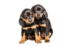 Two puppy breed Slovakian Hound Royalty Free Stock Images