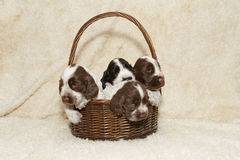 Two puppy of brown English Cocker Spaniel Stock Photos