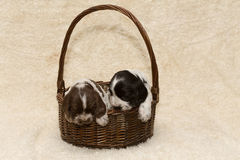 Two puppy of brown English Cocker Spaniel Royalty Free Stock Image