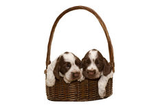 Two puppy of brown English Cocker Spaniel Stock Photography