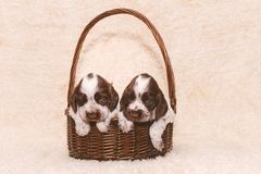 Two puppy of brown English Cocker Spaniel dog Stock Images