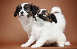 Two Puppy on a brown Royalty Free Stock Images