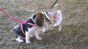 Two puppy dog,beagle and chihuahua,playing together on yard stock video