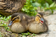 Two Puppy Duck While Looking At You For Easter Holiday Stock Photo