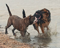 Two puppy fight hard Royalty Free Stock Image