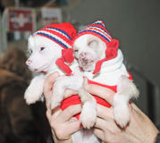 Two puppy in hand Royalty Free Stock Photography