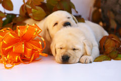 Free Two Puppy In Autumn Leaves. Stock Photos - 11520533