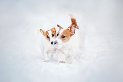 Two puppy Jack russel terrier playing Stock Photography