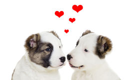 Two puppy love Royalty Free Stock Photos