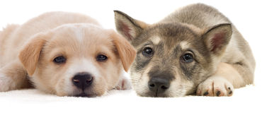 Two puppy lying Royalty Free Stock Photo
