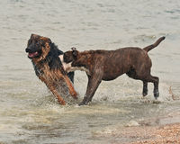 Two puppy male fight hard Royalty Free Stock Images