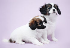 Two Puppy Papillon Stock Images