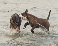Two puppy play and fight hard Royalty Free Stock Images
