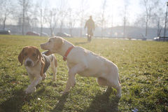 Two puppy playing running on green field Royalty Free Stock Image