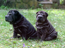 Two puppy sharpei brother Stock Photo