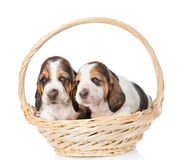 Two puppy sitting in basket. isolated on white background Royalty Free Stock Image