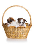 Two puppy in wicker basket Royalty Free Stock Images