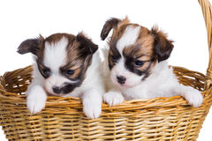 Two puppy in wicker basket Royalty Free Stock Image