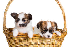Two puppy in wicker basket Stock Photos