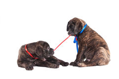 Two Pups playing Royalty Free Stock Photo