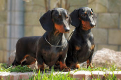 Two purebred dogs, a German smooth-haired Dachshund looking  Stock Images