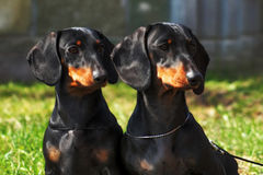 Two purebred dogs, a German smooth-haired Dachshund looking  Royalty Free Stock Photo